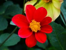 Dahlia `Happy Single Romeo`,``Happy Single Rome stock photo