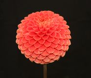 Dahlia Head. Royalty Free Stock Images