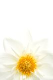 Dahlia highkey isolated Stock Photos