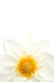 Dahlia highkey isolated. Dahlia isolated on white, a white dahlia highkey macro stock photos