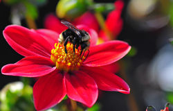 Dahlia Honey Bee Royalty Free Stock Photo