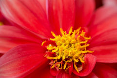 Dahlia hortensis Royalty Free Stock Photography