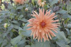 Dahlia. Hybrida cactus- beautiful ornamental plant with large creamy lowers Stock Photography