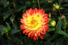 Dahlia hybride Royalty Free Stock Image