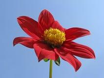 Dahlia-hybride in de zomer Stock Afbeeldingen