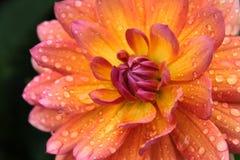 Dahlia i dropparna av regn Royaltyfri Bild