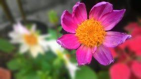 Dahlia i rosa färger Arkivbild
