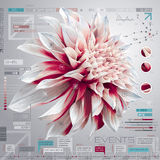 Dahlia infographic reeks Royalty-vrije Stock Foto's
