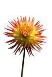 Dahlia isolated on white. Background Stock Photo