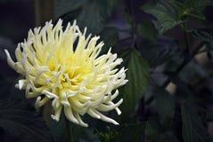 Dahlia jaune Photo libre de droits