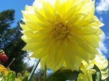 Dahlia jaune Photographie stock libre de droits