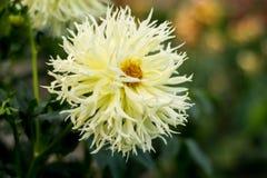 Dahlia jaune-clair Image stock