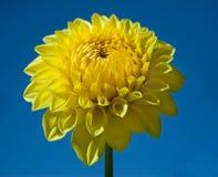 Dahlia jaune et ciel bleu images libres de droits