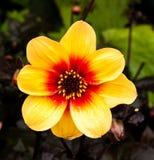Dahlia jaune et rouge Image libre de droits