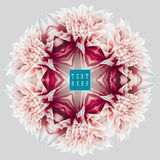 Dahlia kaleidoscope 6. Design and art element - abstract kaleidoscopic rosette consisting of reflections of red-white garden Dahlia flower on neutral grey Stock Photos
