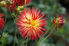 Free Dahlia Karma Bon Bini, Cactus, Bi-colour Blooms Stock Photo - 168281460