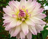 Dahlia. Large garden herb with large bright buds Stock Photos