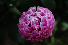 Dahlia  Le Batts Prime decorative type flower Royalty Free Stock Images