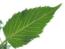 Dahlia leaf macro veins. stock image