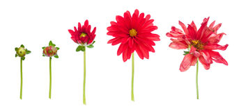 Dahlia life. Dahlia from bud to dying flower isolated on white Stock Photo