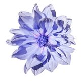 Dahlia  light blue flower  on an isolated white background with clipping path. Closeup. No shadows. Royalty Free Stock Photo