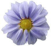 Dahlia  light blue  flower.  white  background isolated  with clipping path. Closeup. with no shadows. Stock Photo