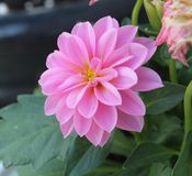 Dahlia Stock Photos