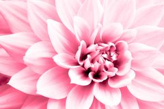 Dahlia light pink flower macro photo. High key picture in color emphasizing the bright pink and highlights royalty free stock images
