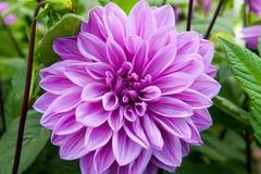 Dahlia Lilac time Royalty Free Stock Photos