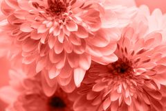 Dahlia living coral flowers close up for yellow background.  royalty free stock image