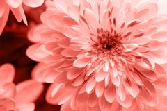Dahlia living coral flowers close up for yellow background.  royalty free stock images