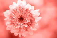 Dahlia living coral flowers close up for yellow background.  stock photography