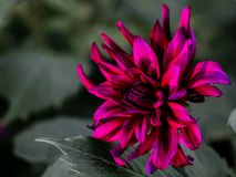 Dahlia, Looks Close To `Prince Noir` Royalty Free Stock Photo