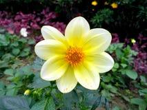 Dahlia Luna blommacloseup med bakgrund i en trädgård royaltyfri fotografi