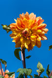 Dahlia macro over blue sky background stock photography