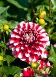 Dahlia macro Royalty Free Stock Photo