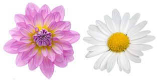 Dahlia and marguerite Royalty Free Stock Photos