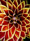 Dahlia-maxime-yellow Royalty Free Stock Photos
