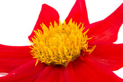Dahlia is the Merry guys. A bright garden flower dahlia  Merry guys is isolated on a white background Stock Photos