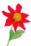Dahlia is the Merry guys. A bright garden flower dahlia  Merry guys is isolated on a white background Stock Image