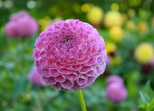 Dahlia met hart gevormde bloemblaadjes Stock Fotografie