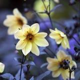 Dahlia Mignon Dinner Plate Lilac Time-Gelb-Blume Stockfoto