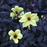 Dahlia Mignon Dinner Plate Lilac Time-Gelb-Blume Lizenzfreie Stockbilder