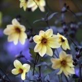 Dahlia Mignon Dinner Plate Lilac Time-Gelb-Blume Stockbilder