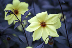 Dahlia Mignon Dinner Plate Lilac Time-Gelb-Blume Lizenzfreie Stockfotos