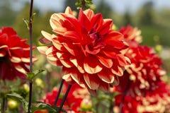 Dahlia Dahlia min förälskelse Royaltyfria Bilder