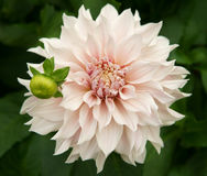 Dahlia named Café au Lait. A decorative Dahlia blossom and a bud named Café au Lait or Milk Coffee. Outdoor, daylight Royalty Free Stock Image