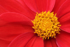 Dahlia (Nellie Geerlings) flower closeup royalty free stock photography