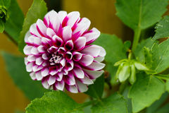 Dahlia Northern Lights. Beautiful Northern Lights dahlia in the garden royalty free stock photography