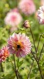 Dahlia och bina Arkivbild